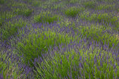 Lavander field in Yorkshire — Stock Photo