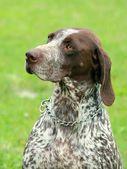 Deutsch Kurzhaar German Short-haired Pointing Dog — Stock Photo