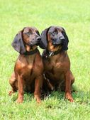 Two Bavarian Mountain Scenthound dogs — Stock Photo