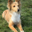 Shetland Sheepdog on green grass — Foto de stock #15952897