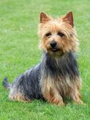 Australian Terrier — Stock Photo