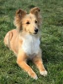 Shetland Sheepdog on the green grass — Stok fotoğraf