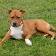 Stock Photo: American Staffordshire Terrier