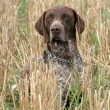 German shorthaired pointer dog — Stock Photo