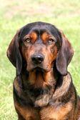 Alpejski gończy krótkonożny pies — Zdjęcie stockowe