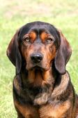Alpine Dachsbracke dog — 图库照片