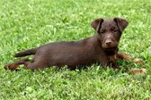 German Hunting Terrier puppy — Stock Photo