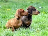 Dachshund Dogs — Stock Photo