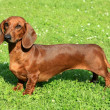 Standard smooth-haired dachshund — Stock Photo