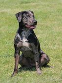 Louisiana Catahoula leopard dog — Stock Photo