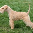 Stock Photo: Lakeland terrier