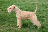 Lakeland terrier — Stock Photo