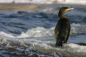 A majestic Cormorant — Stock Photo
