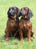 Two dogs — Stock Photo