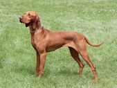 Hungarian Vizsla — Stock Photo