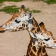 Royalty-Free Stock Photo: Two giraffes