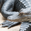 Detail of group of Alligators — Stock Photo