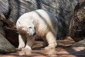 Young polar bear — Stock Photo