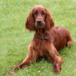 Young Irish Setter - Stock Photo