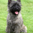 Stock Photo: Cairn Terrier