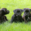 Five puppies Staffordshire Bull Terrier — Stock Photo #18878463