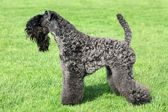 Kerry Blue Terrier — Stock Photo