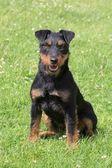 German Hunting Terrier — Stock Photo