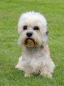 Dandie Dinmont Terrier — Stock Photo
