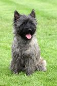 Cairn Terrier — Stock Photo