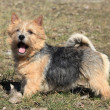 Stock Photo: Norwich Terrier
