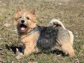 Norwich Terrier — Stock Photo