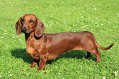 Portrait of Standard smooth-haired dachshund — Stock Photo