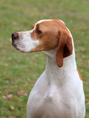 English Pointer dog — Stock Photo