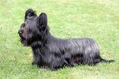 Funny Skye Terrier — Stock Photo