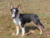 The portrait of Miniature Bull Terrier — Stock Photo
