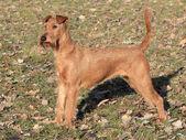 Irish Terrier in the park — Stock Photo