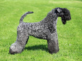 The Kerry Blue Terrier — Stock Photo