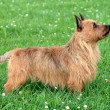 Australian Terrier dog  — Stock Photo
