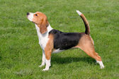 The typical Beagle on the green grass — Stock Photo
