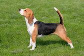 El beagle típico sobre la verde hierba — Foto de Stock