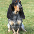 Stock Photo: Sad Blue Gascony Basset