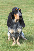 The sad Blue Gascony Basset — Stock Photo