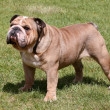 The English Bulldog on the green grass - Stock Photo