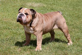 The English Bulldog on the green grass — Stock Photo