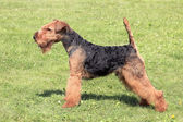 Welsh Terrier dog — Stock Photo