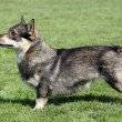 Stock Photo: Swedish Vallhund