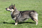 Swedish Vallhund — Stock Photo