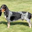 Stock Photo: Blue Gascony Basset