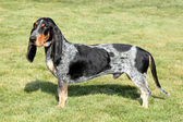 Blue Gascony Basset — Stock Photo