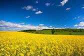 Rape field and blue sky — Stock Photo